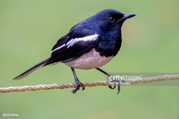 Magpie-robin (Copsychus saularis)