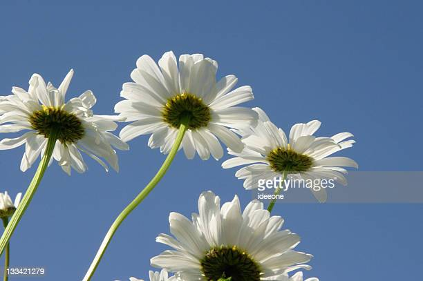 maguerite heaven - marguerite daisy stock photos and pictures