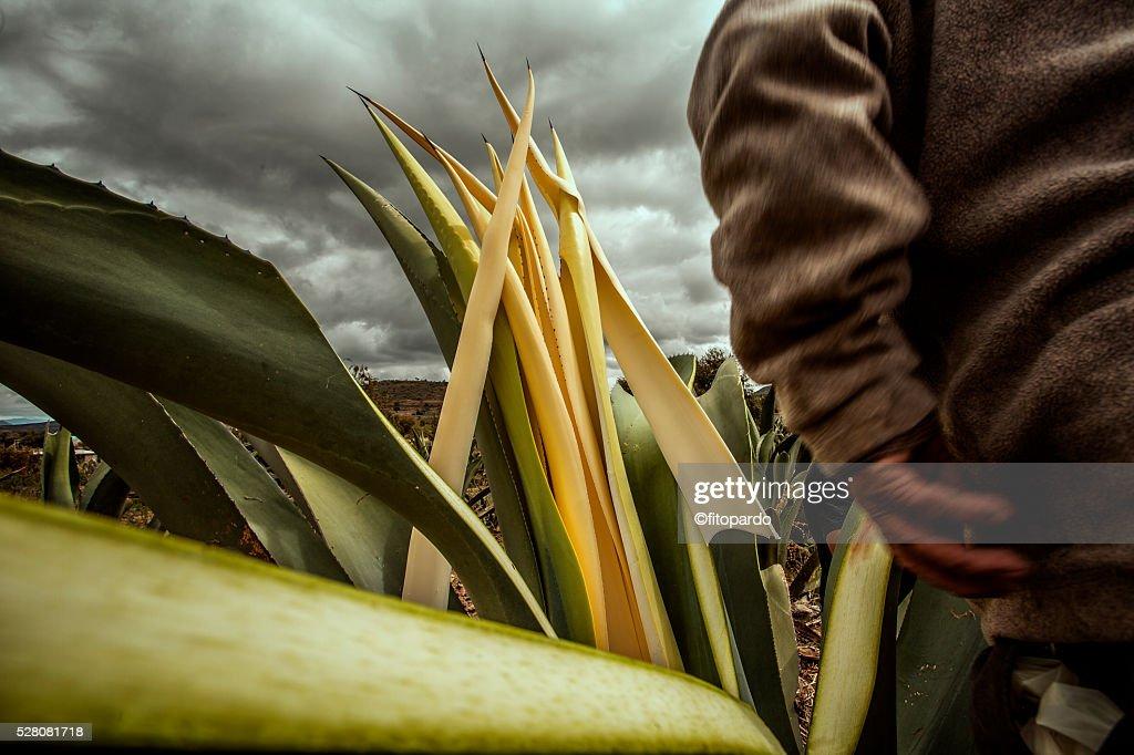 Maguey Plant : Stock Photo