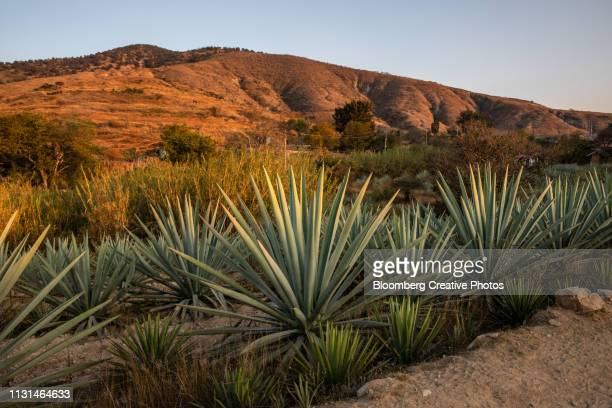 maguey plants grow in a field - oaxaca stock pictures, royalty-free photos & images