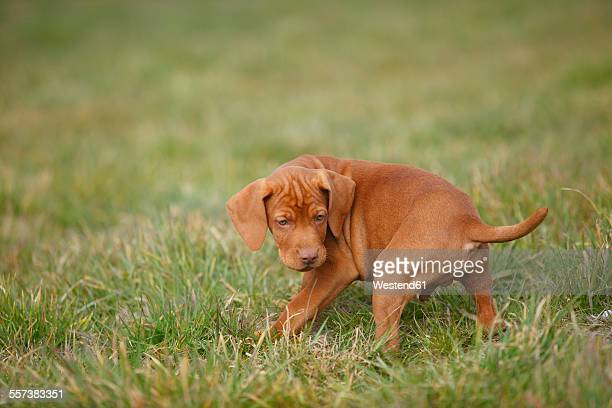 magyar vizsla, hungarian short-haired pointing dog, puppy, on meadow - german short haired pointer stock pictures, royalty-free photos & images