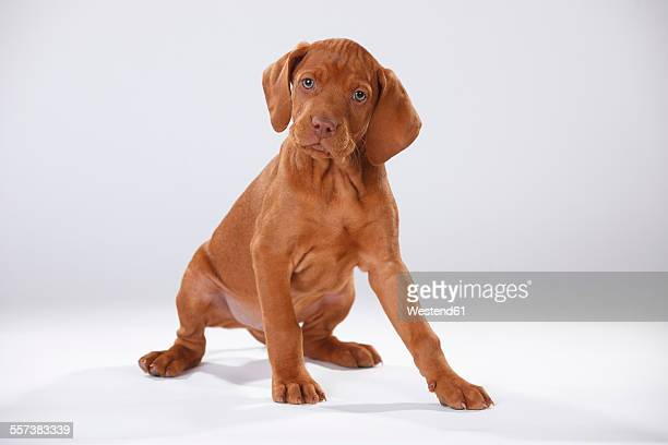 Magyar Vizsla, Hungarian Short-Haired Pointing Dog, puppy