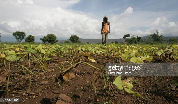 Maharashtra Drought and Water Scarcity Farmers Siddharth Jadhav a helpless farmer looking at his five acre crop of moong which has been totally...