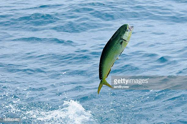 Dolphin Fish Stock Photos and Pictures | Getty Images