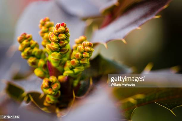 Mahonia Japonica 'Sioux'