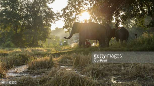Mahout family are riding the elephants to feeding on the field after harvest, animal and family relation in Ban Takhlang Elephant village, Surin province, Thailand