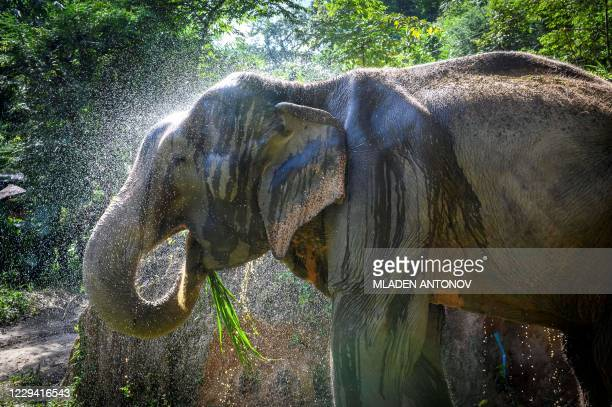 Mahout sprays his elephant with water in Baan Tong Luang hill tribes village situated some 30km west of Chiang Mai on November 2, 2020. - Created as...