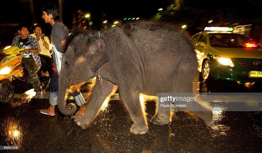 Urban Elephants Beg And Roam The Streets Of Bangkok Photos And