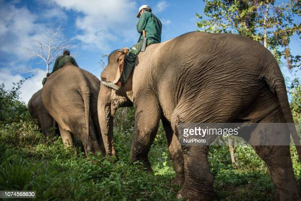Mahouts lead elephants into the forest after watering in the Elephant Conservation Center Sayaboury Laos in December 2018 Laos was known as The land...