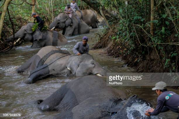 Mahout's member of the Elephant Response Units for the protection of Sumatran elephants giving the bath to the elephants at Way Kambas National Park...