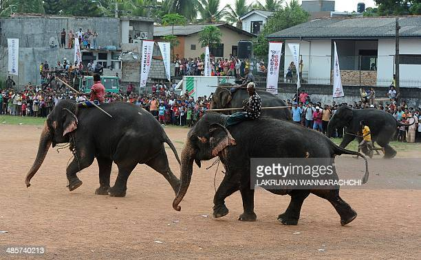 Mahouts ride elephants as part of traditional festival games to mark the Sinhala and Tamil New Year in Homagama near Colombo on April 20 2014 The new...