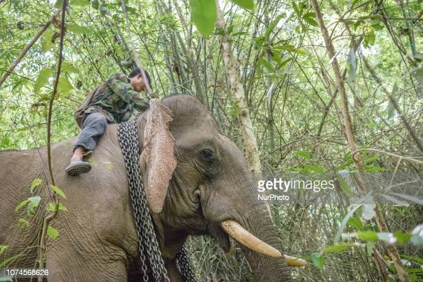 Mahouts take elephants to a new place deep in the forest in the Elephant Conservation Center Sayaboury Laos in December 2018 Laos was known as The...
