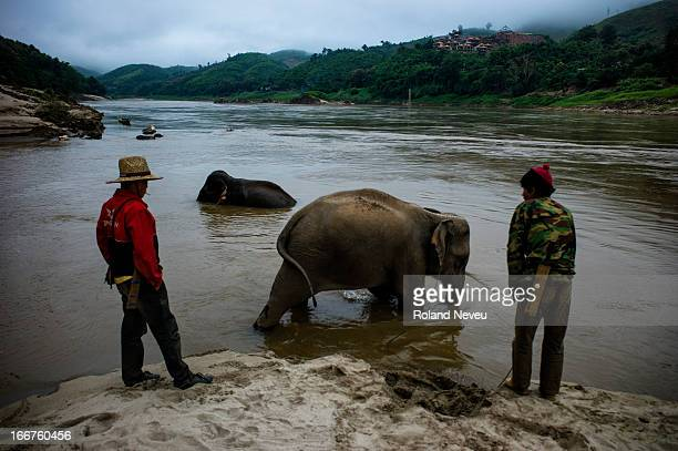 Mahouts take their elephants for bath early morning on a sandabnk of the Mekong river in Pakbeng in Northern Laos..