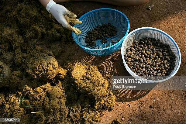Mahout's wives pick out coffee beans from elephant dung at an elephant camp at the Anantara Golden Triangle resort on December 10 2012 in Golden...