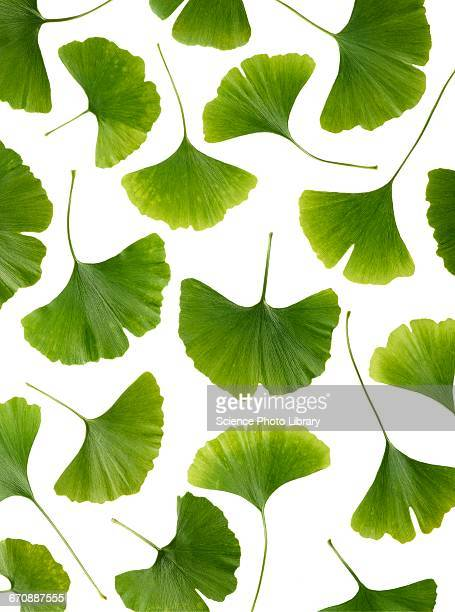 maidenhair leaves - ginkgo tree stock pictures, royalty-free photos & images