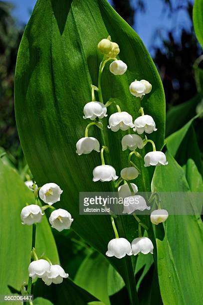 Maiglöckchen blühen im Auwald und verströmen lieblichen Duft