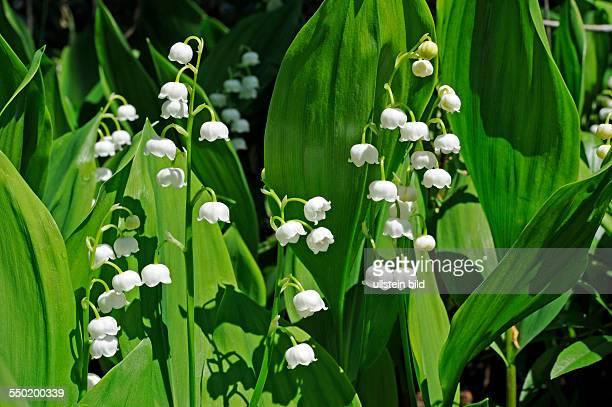 Maiglöckchen blühen im Auwald verströmen lieblichen Duft sind jedoch giftig und geschützt