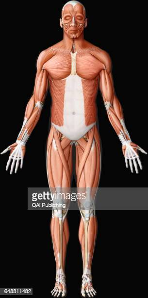 Main muscle anterior view This image shows an anterior view of the main muscles in the human body