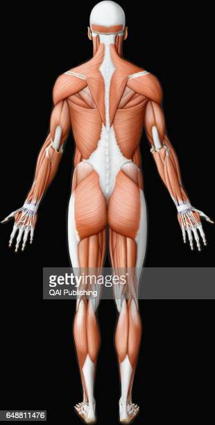 Main muscle posterior view This image shows a posterior view of the main muscles in the human body