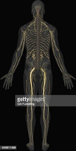 Main nerves posterior view Bundle of nerve cells that carry sensory and motor signals between the central nervous system and the rest of the body