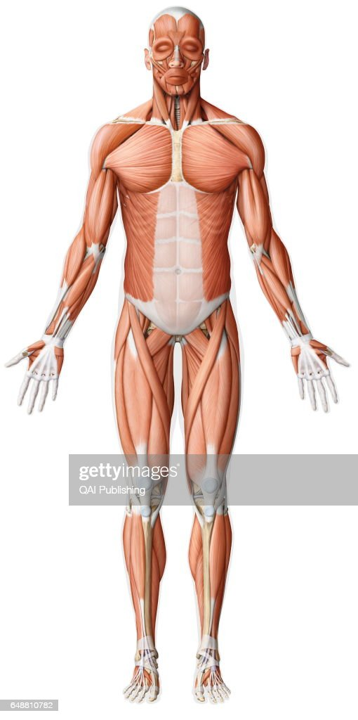 Main Skeletal Muscle Anterior View Pictures Getty Images