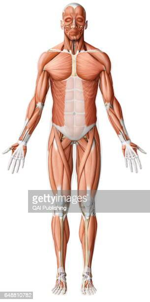 Main skeletal muscle anterior view While the movements of the smooth muscles are always involuntary those of the skeletal muscles are almost always...