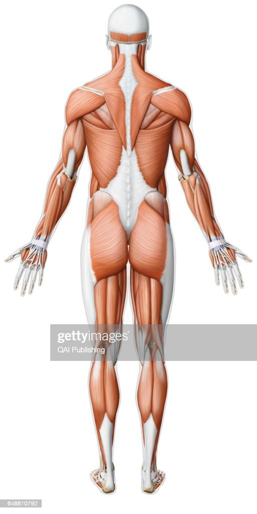 Main Skeletal Muscle Posterior View Pictures Getty Images