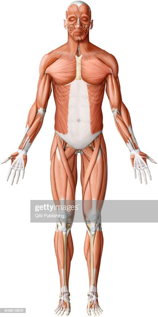 Main skeletal muscles anterior view, While the movements of the ...