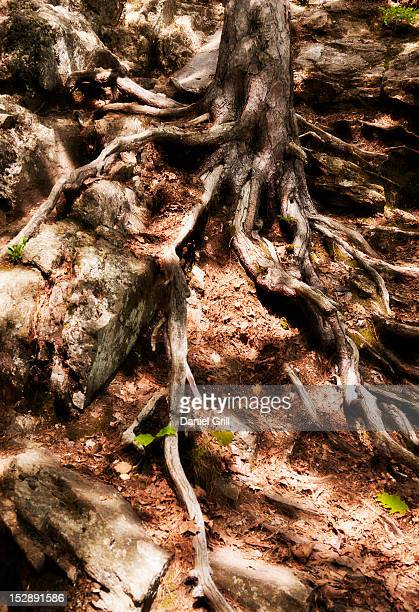 USA, Maine, Camden, Coiled tree roots and green leaves