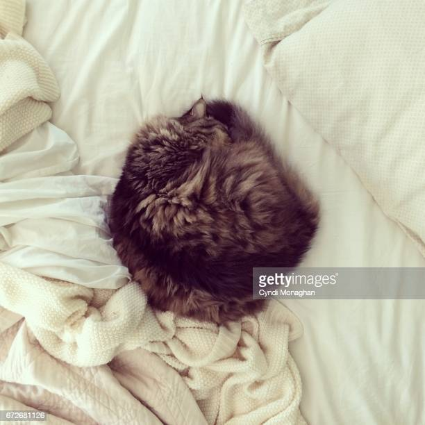 maine coon ball of fluff - hairy balls stock photos and pictures