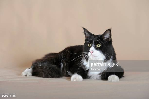 maine coon, black and white cat, lying - maine coon cat stock pictures, royalty-free photos & images