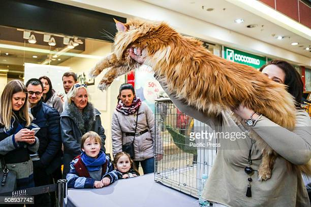 Maine Coon cat at the exhibition of breed cats in the shopping centre Galeria Krakowska in Krakow Poland