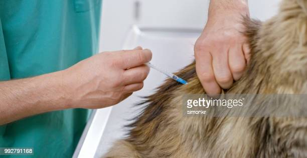 Maine Coon cat being vaccinated in veterinary office
