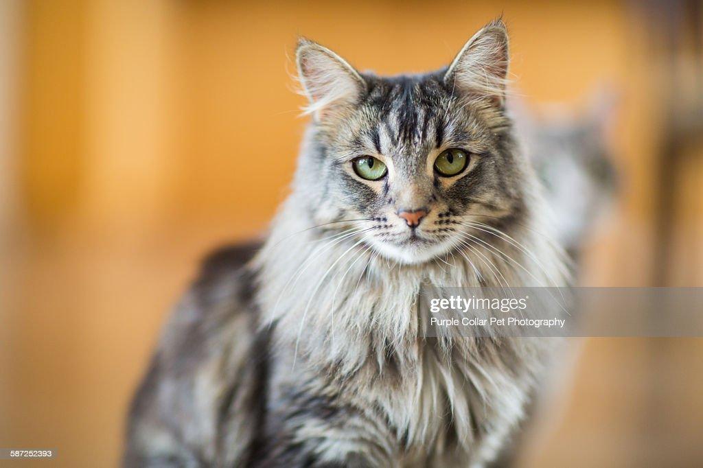 Maine Coon Cat Close Up Indoors