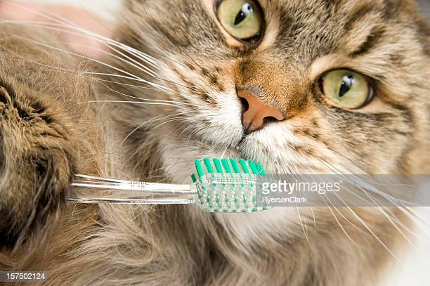 Maine Coon Cat Dental Hygiene, Brushes Teeth.