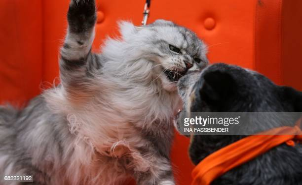 A Maine Coon cat fights with an Australian Cattle Dog in Dortmund western Germany during a phototermin at the exhibition Dog cat on May 12 2017 / AFP...