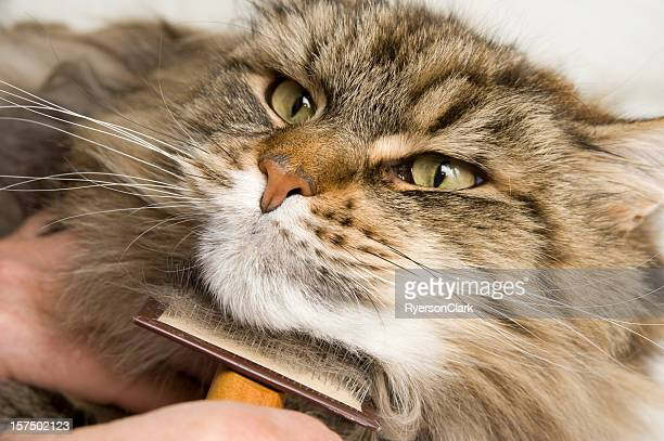 Maine Coon Cat Grooming with a Brush