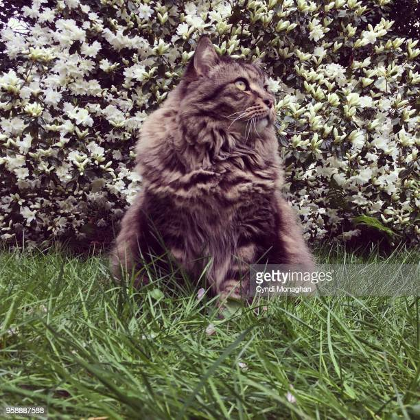 maine coon cat in garden - hairy bush stock pictures, royalty-free photos & images