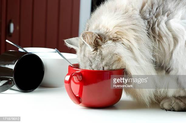 Gato Maine Coon lamer una taza.