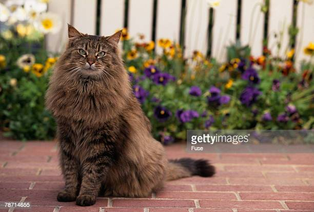 Maine Coon Cat on Sidewalk