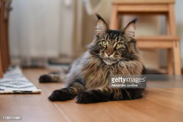 3 927 Maine Coon Cat Photos And Premium High Res Pictures Getty Images