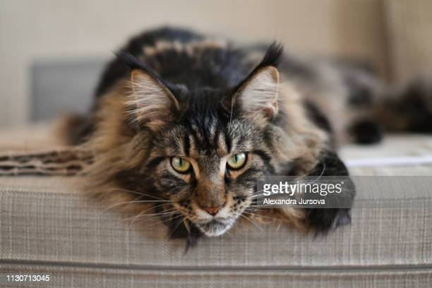 maine coon cat (mco) - maine coon cat stock pictures, royalty-free photos & images