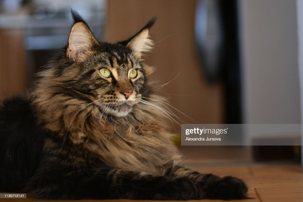 Maine Coon Cat Stock Foto Getty Images