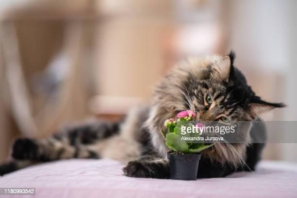 maine coon cat (mco) - neus van een dier stockfoto's en -beelden
