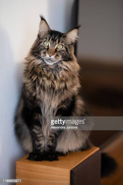 maine coon cat (gentle giant) - maine coon cat stock pictures, royalty-free photos & images
