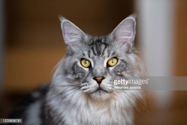 maine coon cat - maine coon cat stock pictures, royalty-free photos & images