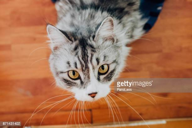 maine coon cat - big eyes stock photos and pictures
