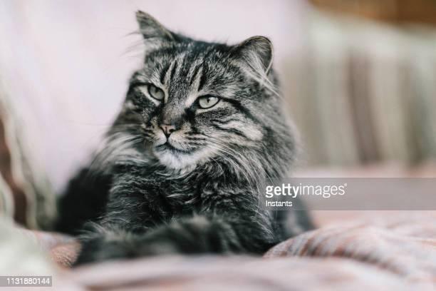 3 553 Maine Coon Katze Bilder Und Fotos Getty Images
