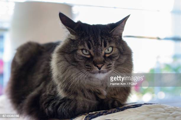 maine coon cat sitting indoors - harriet stock photos and pictures