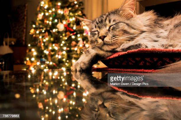 maine coon cat sleeps in basket, reflecting with christmas tree lights on granite kitchen counter - puss pics stock photos and pictures